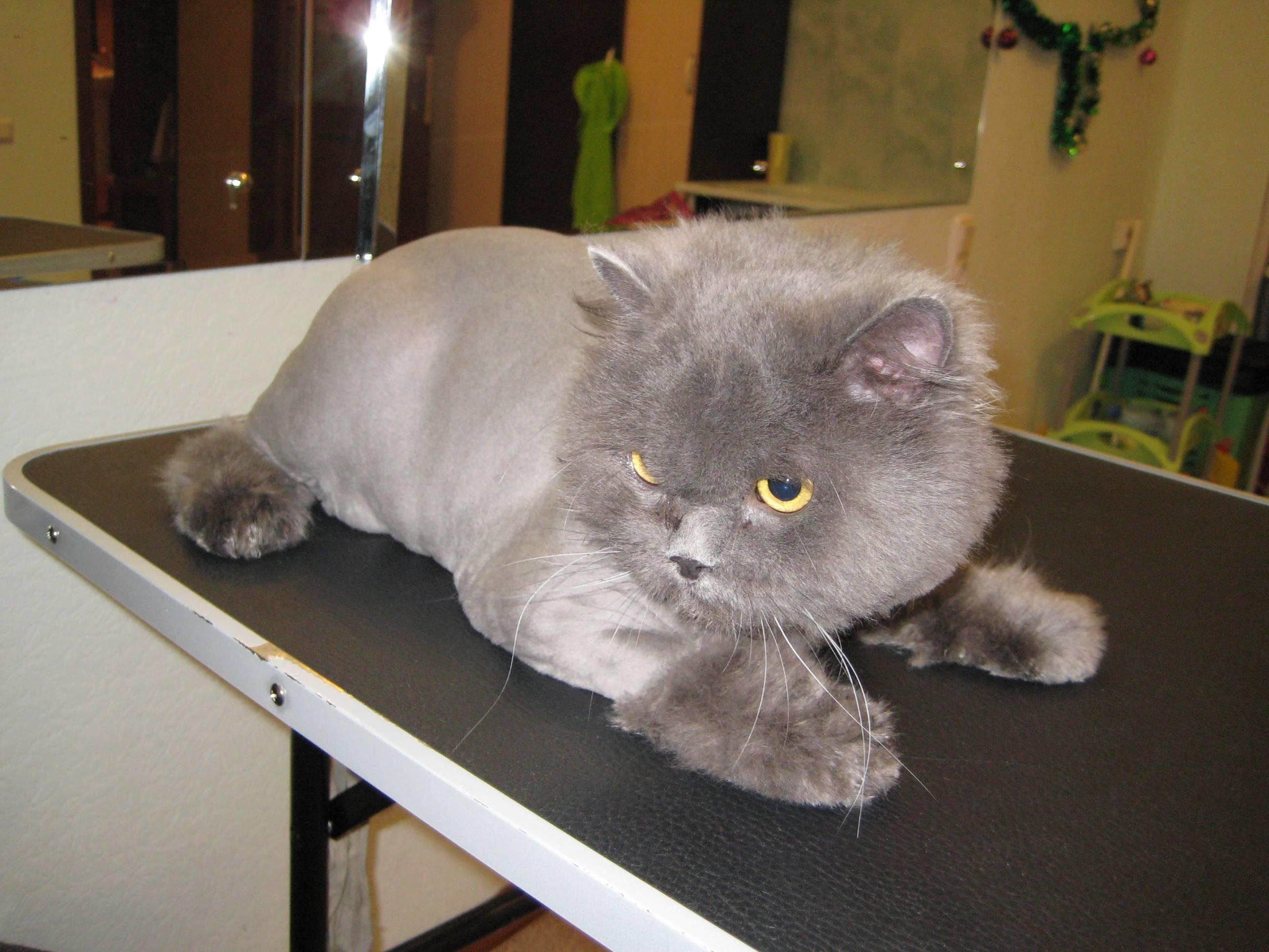 Стерилизация и кастрация британских кошек и котов