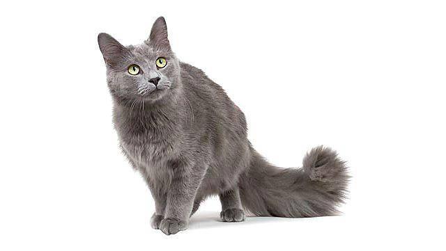 Порода кошек нибелунг: описание, уход, кормление и выбор котёнка