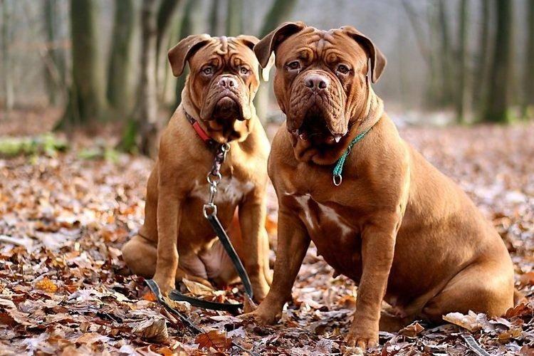 Мощь и выносливость: топ самых сильных собак в мире