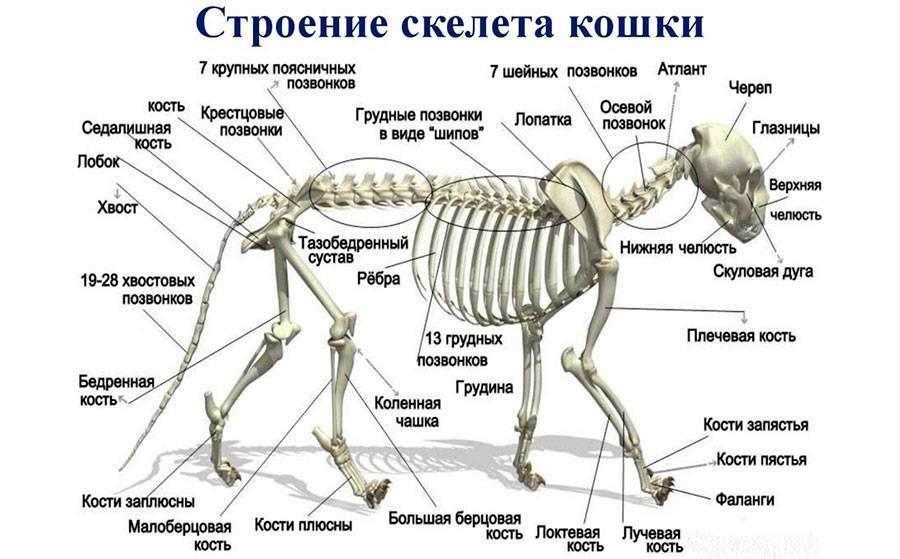 Строение собаки
