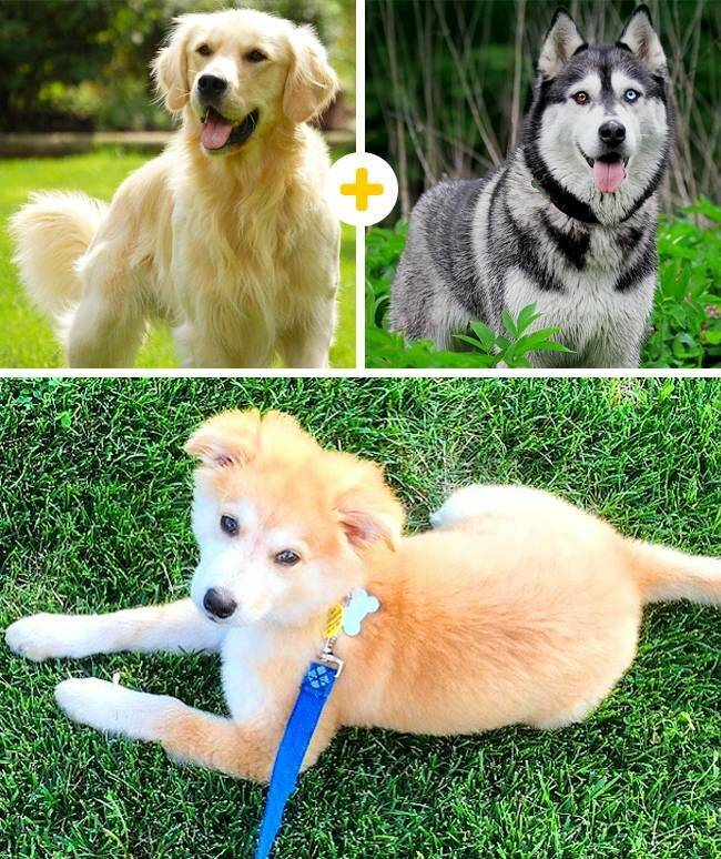 Собака метис (39 фото): описание смешанных пород и содержание щенков. что такое метис? необычные помеси и смеси мелких и больших собак