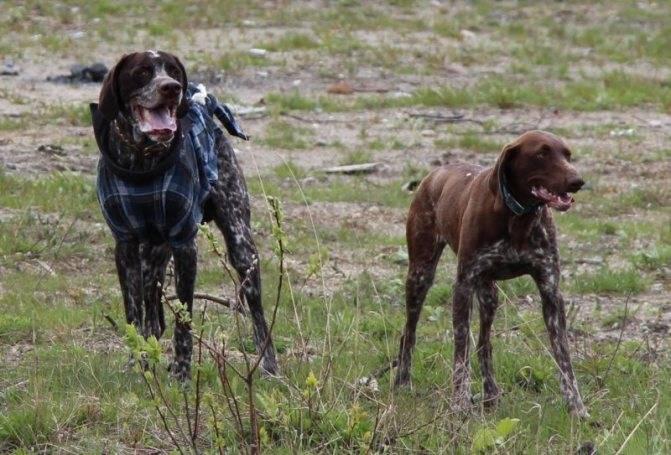 Дратхаар: описание породы собак