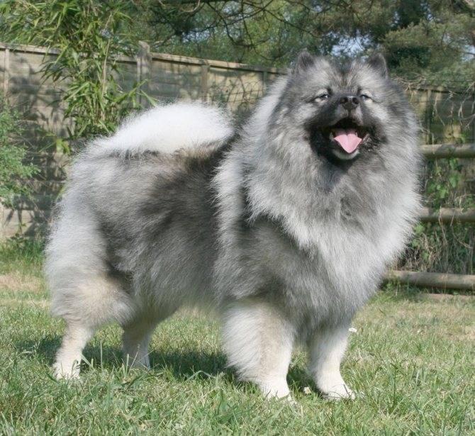 Вольфшпиц кеесхонд – серенький волчок с дружелюбным характером