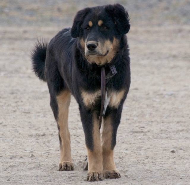Монгольская овчарка банхар (монгольская пастушья собака)