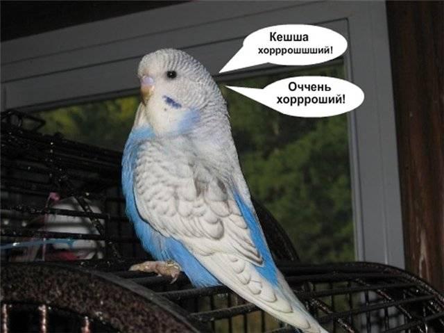«будь другом, пернатый» или 5 шагов по общению с волнистым попугаем