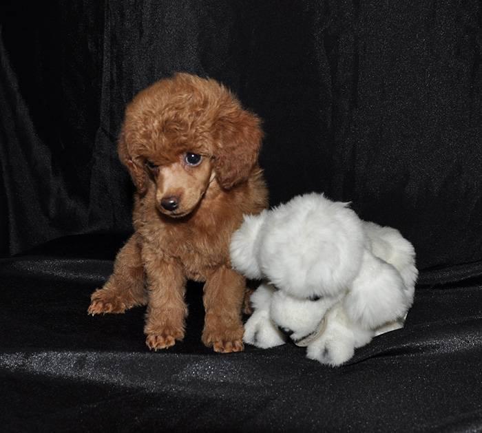 Порода собак той пудель: фото, видео, описание породы и характер