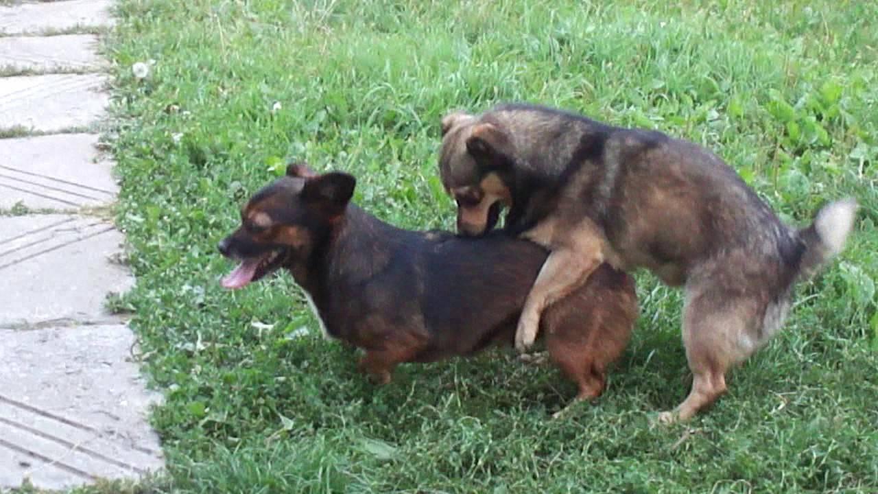 Что делать если собаки слиплись при спаривании: почему слипаются?