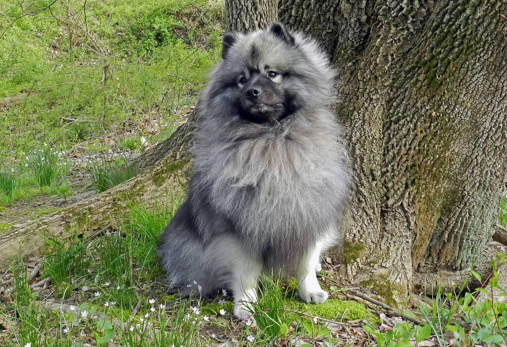 Кеесхонд вольфшпиц: описание породы собак