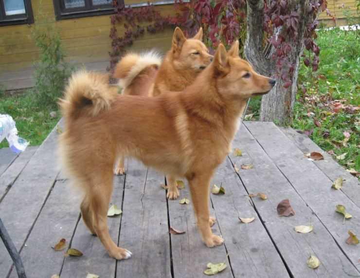 Карело финская лайка: описание породы собак