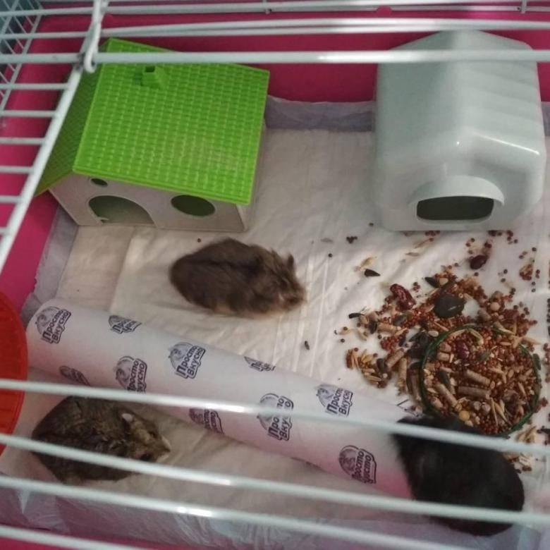 Чем кормят джунгарских хомяков в домашних условиях