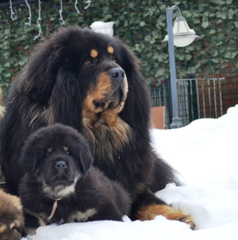 Самые большие собаки в мире: 10-ка тяжеловесов с описанием и фото