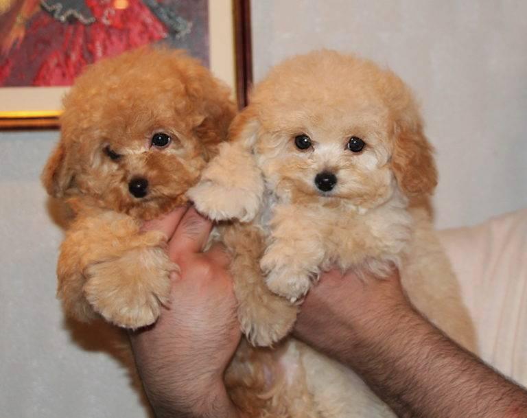 Мальтипу порода собак. описание, особенности, цена и уход за мальтипу