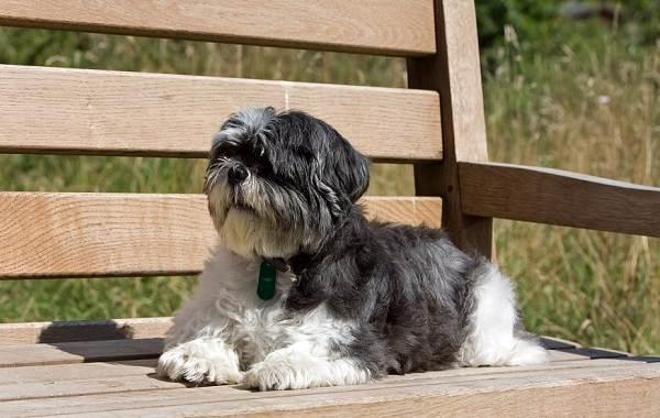 Описание породы собак шицу: стандарты, характер и уход