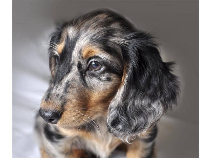 Кроличья такса: описание породы, характер, стандарт, гладкошерстная, длинношерстная, мраморная собака