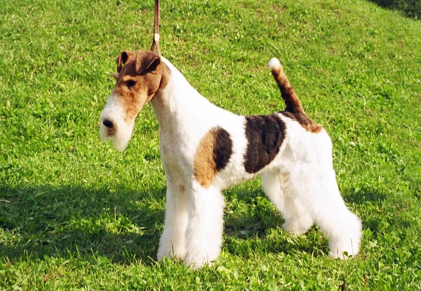 Гладкошерстный фокстерьер: фото и описание породы собак гладкошерстный фокстерьер: фото и описание породы собак