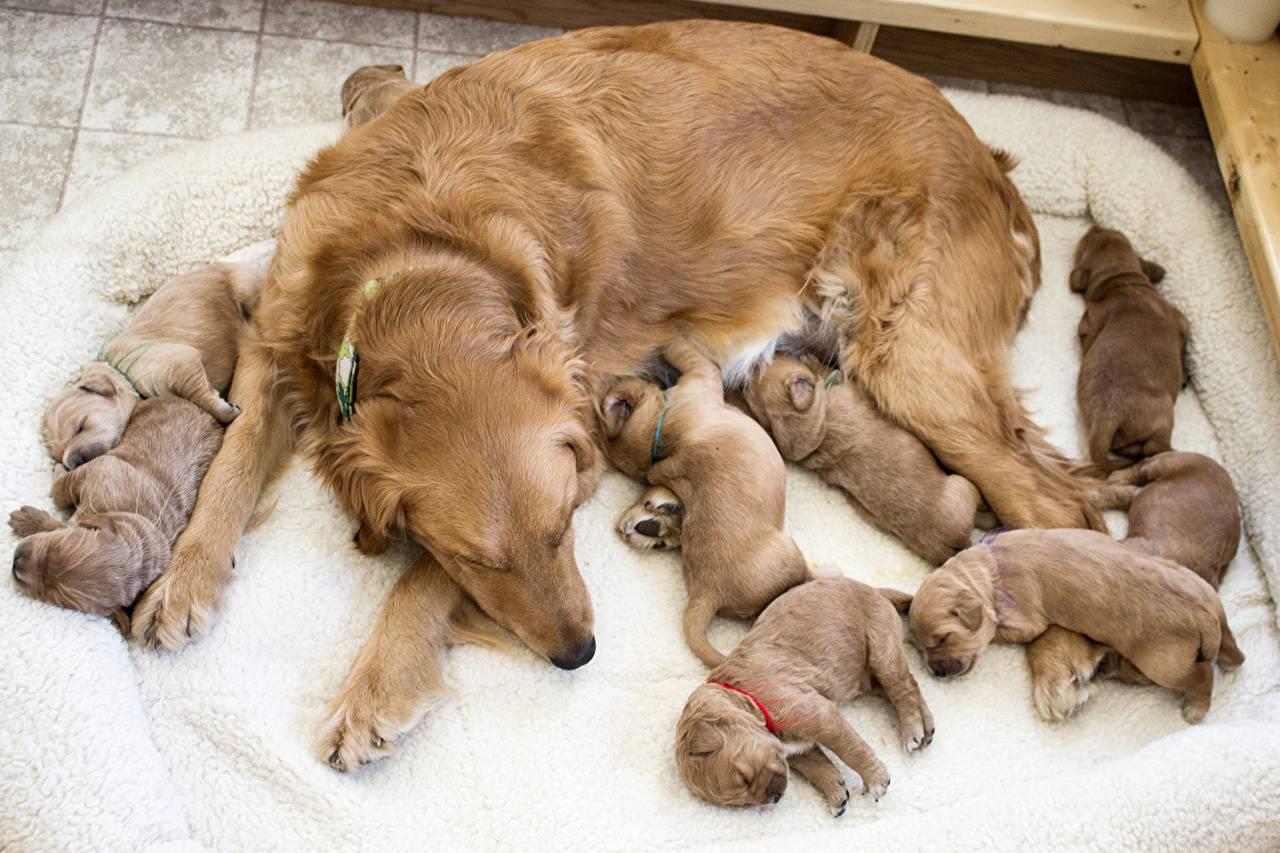 Рацион кормления собаки после родов