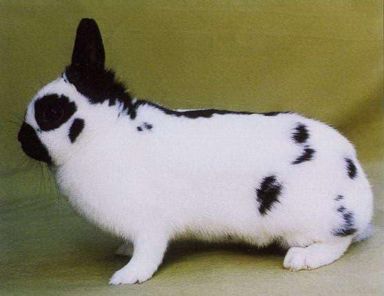 Кролики породы бабочка: описание и характеристики