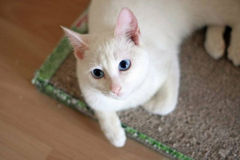Почему белые коты глухие?