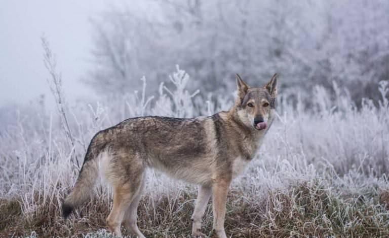 Волкособ — описание, фото, уход, характер, цена