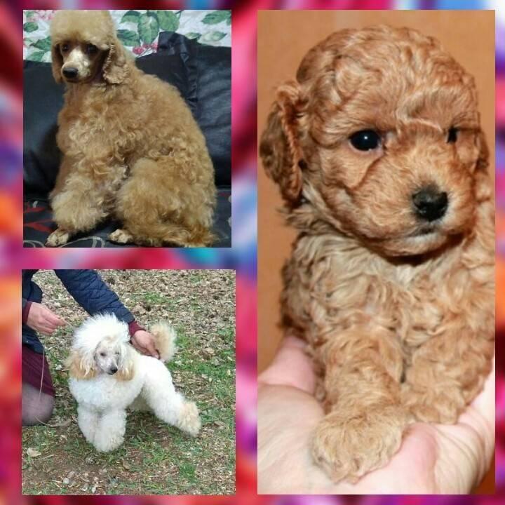 Пудель: «гипоаллергенная» собака, звезда цирка и верный друг