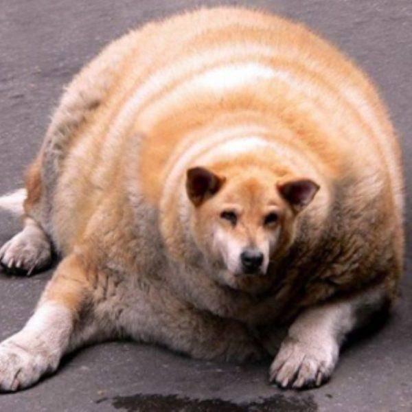 6 самых толстых и жирных кошек в мире: по каким причинам хозяева раскармливают питомцев