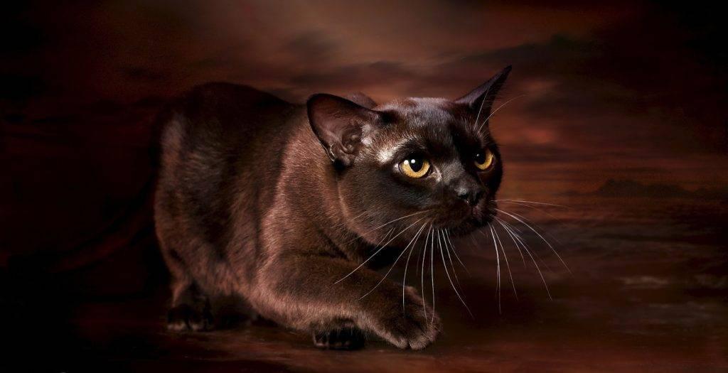 История бурманской кошки