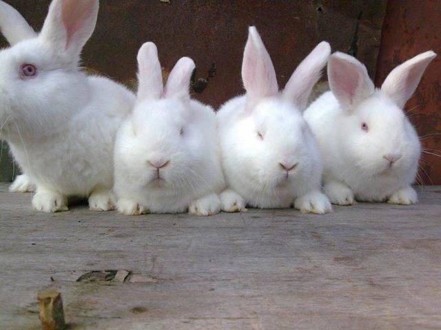 Нзк: описание, характеристика, фото, уход и содержание новозеландских красных кроликов