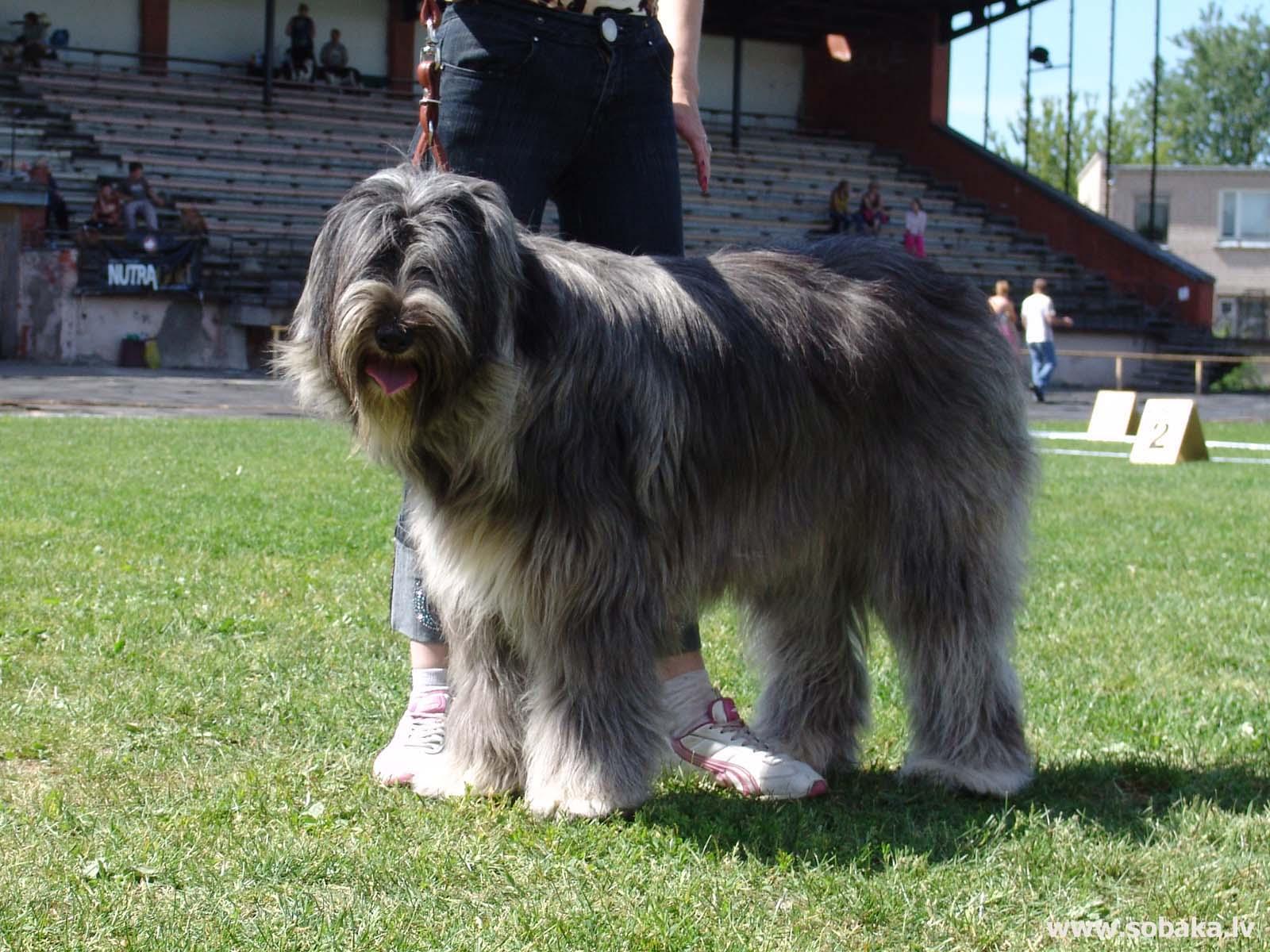 Южнорусская овчарка-самая преданная собака ⋆ собакапедия