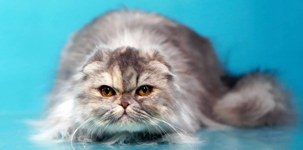 Хайленд-фолд: совята кошачьего мира