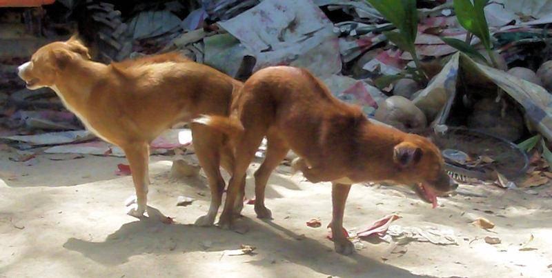 Узел собаки застрял. почему собаки слипаются во время спаривания. собака породы сиба-ину застряла в кустах - новая медицина