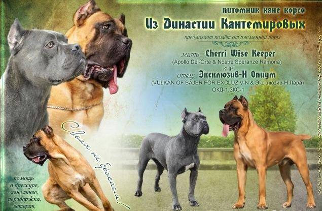 Кане корсо (итальянский мастиф): описание породы и характеристика собак, как выглядит на фото, а также как ведет себя с детьми и другие ее особенности