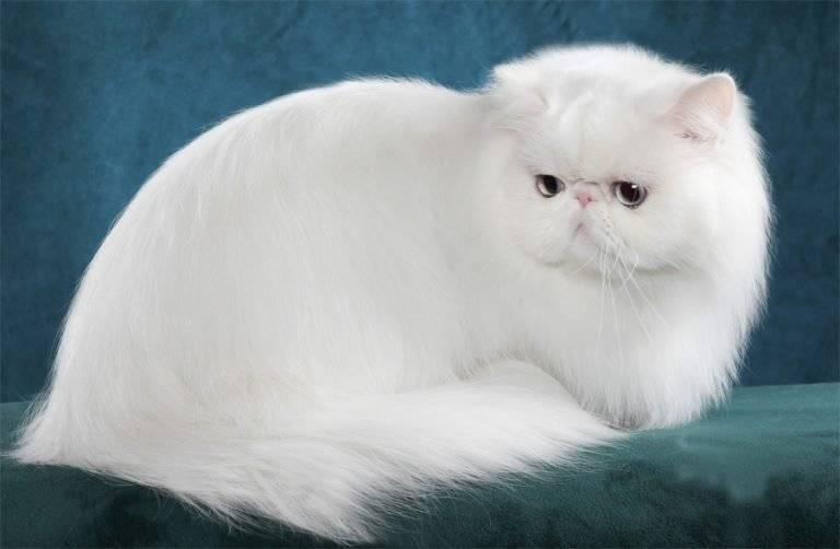 История персидской кошки