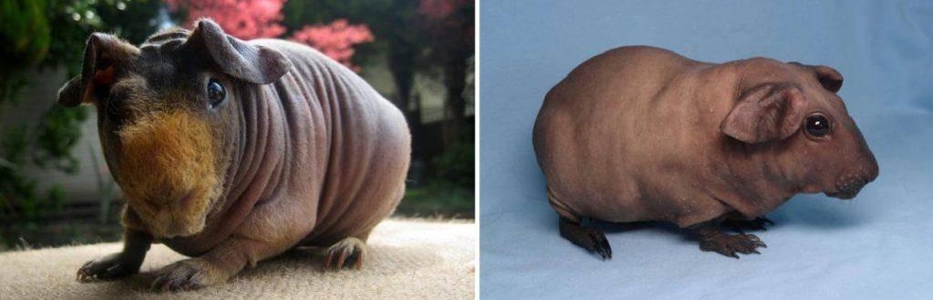 Морская свинка скинни: описание породы, уход и содержание, продолжительность жизни