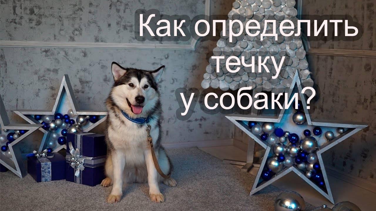 Сколько длится течка у собак? поведение собаки во время и после течки, продолжительность течки. - petstime.ru