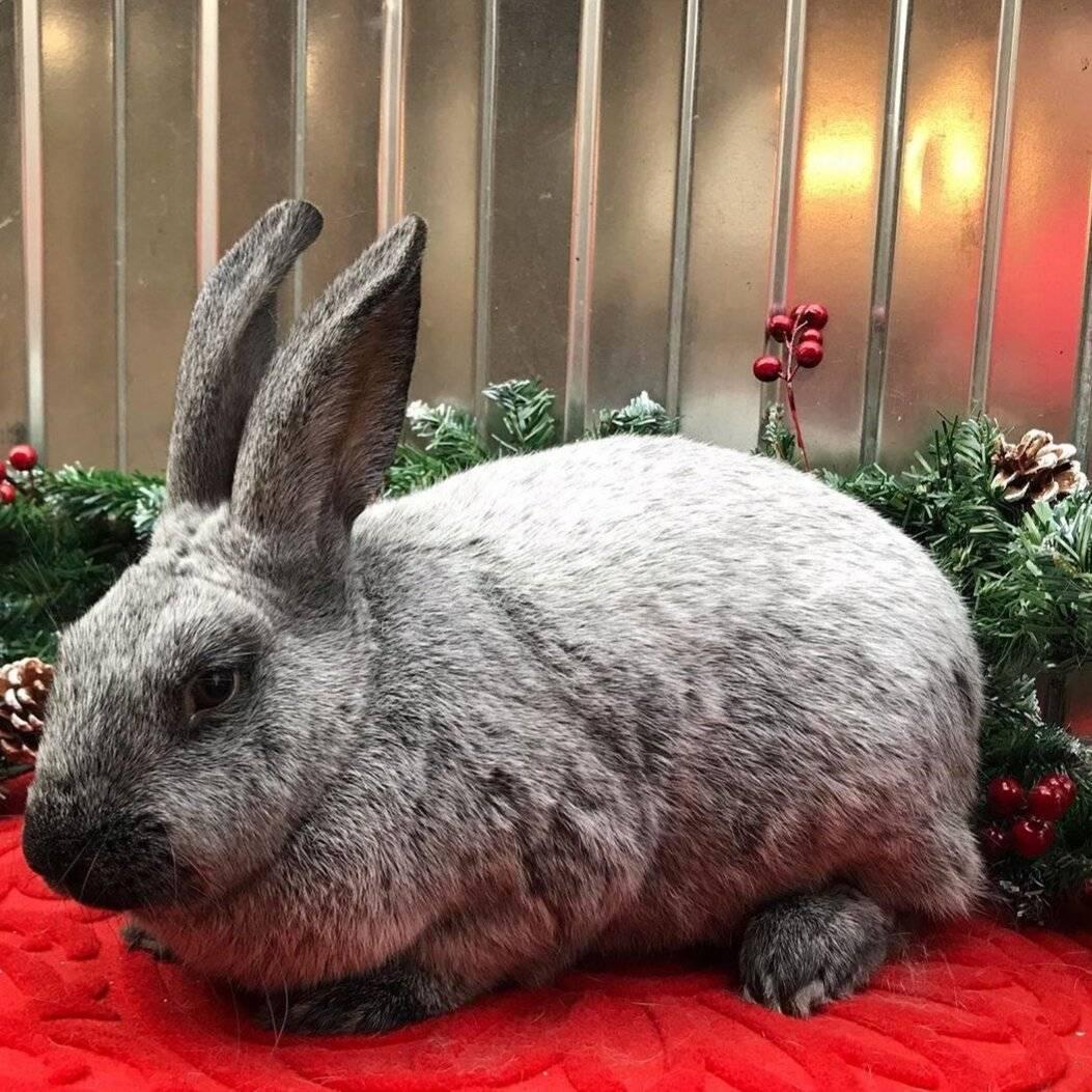 Обзор декоративных пород кроликов