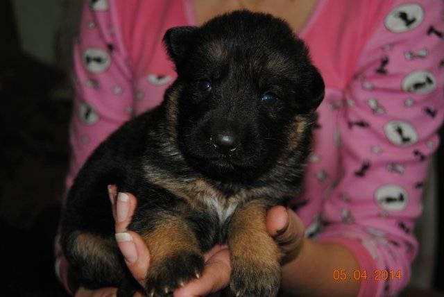 Как кормить щенка немецкой овчарки — полный гайд | pet7