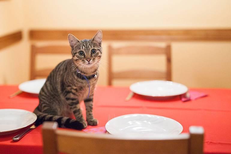 Как отучить кота лазить на стол и воровать еду
