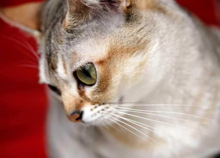 Сингапурская кошка: описание породы, фото, видео, стоимость ктоят