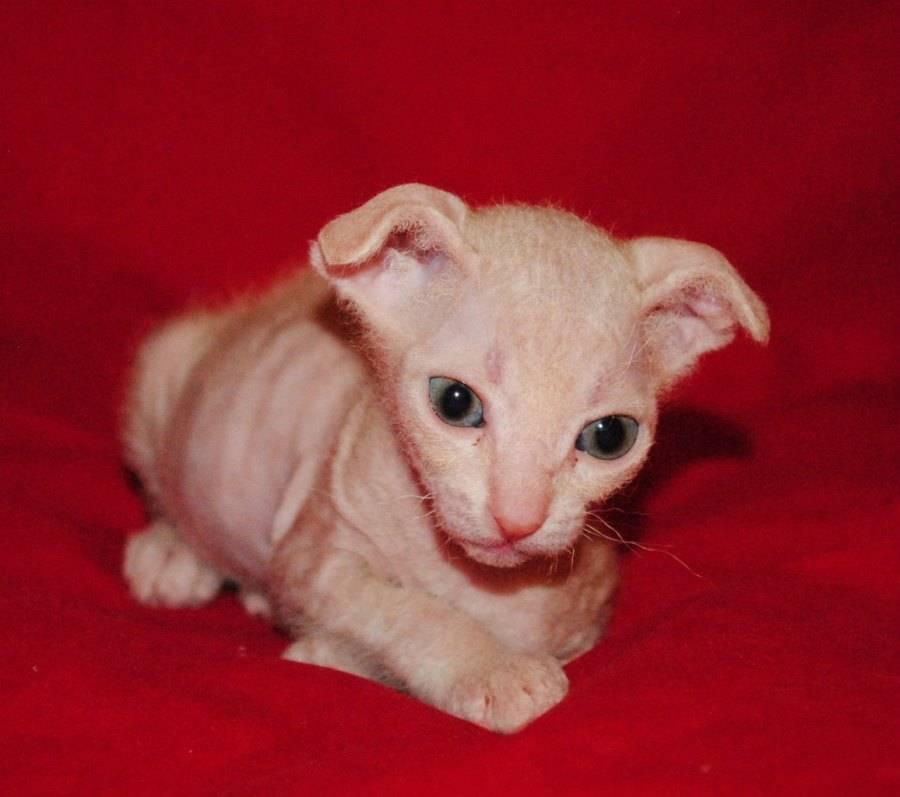 Подробное описание кошек породы украинский левкой