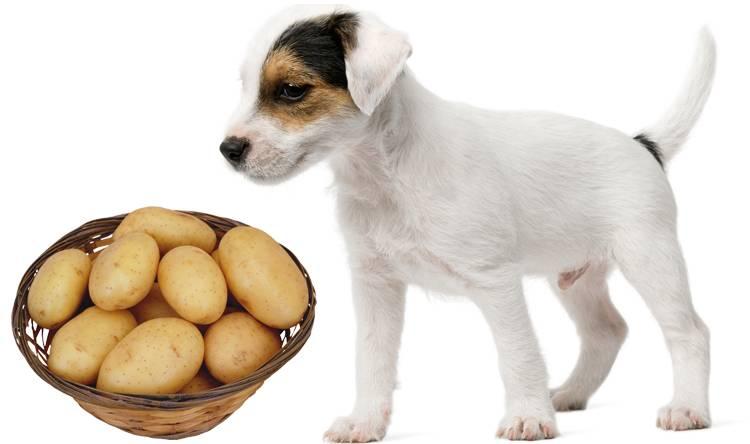 Можно ли собакам морковь, с какого возраста нужно давать её щенкам и в каком виде: сырую, вареную или сушеную?