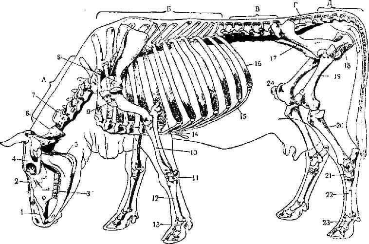Костное строение собаки для ветеринарной информации