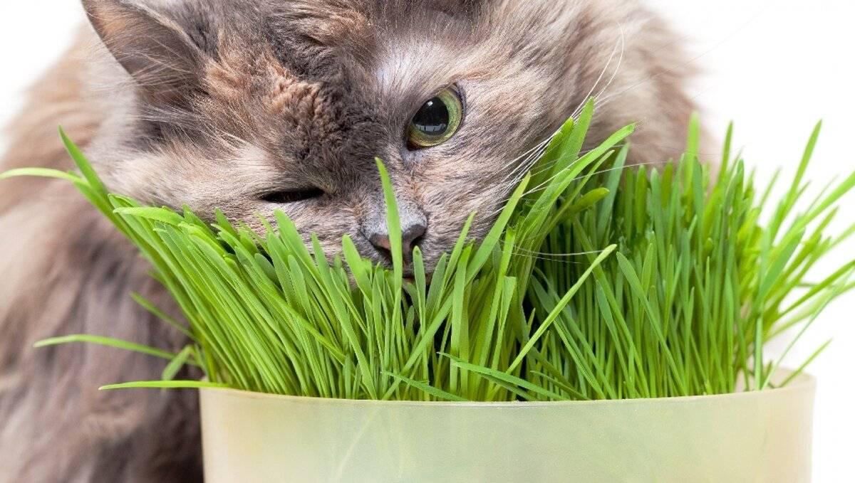 Почему кошки едят траву: выяснение причин
