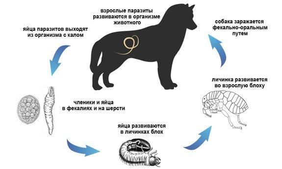 Плоские глисты у собаки: симптомы заболевания, лечение и профилактика