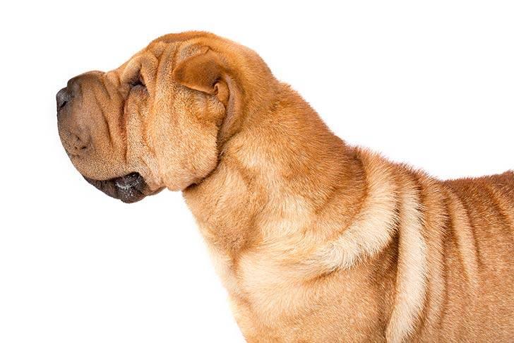 Собака шарпей: описание породы, характеристика, существующие виды, все окрасы, уход и содержание