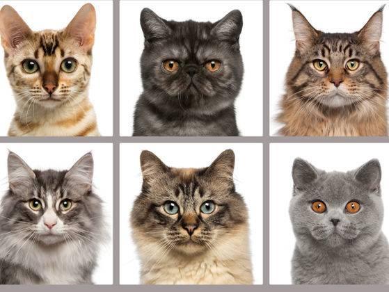 Выбрать породу кошки описание