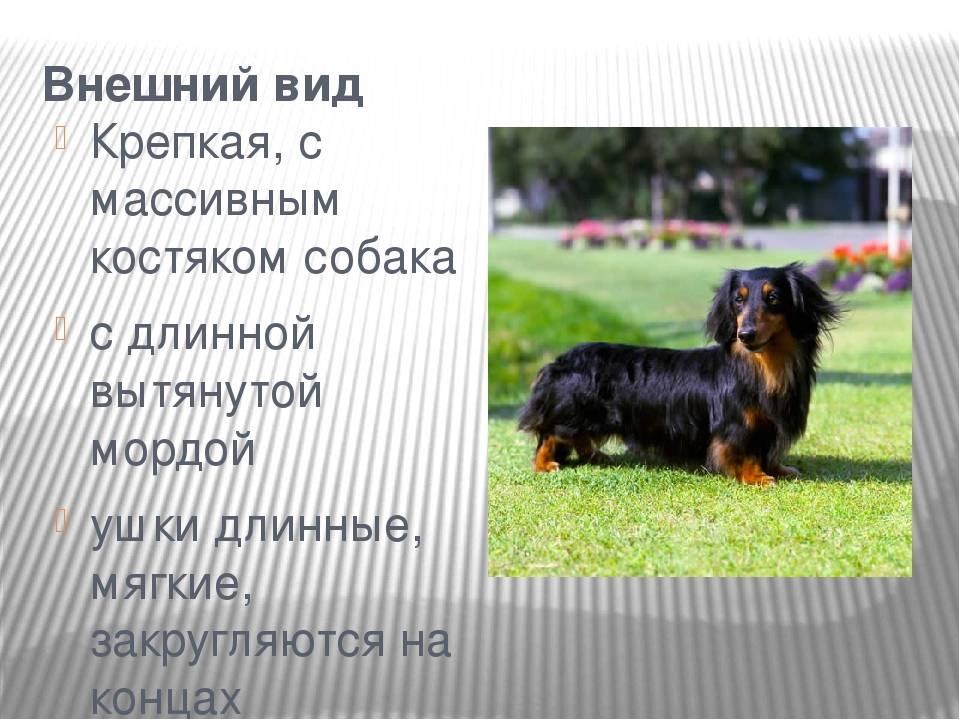 Порода собак такса плюсы и минусы по опыту 6 лет 7 мес.