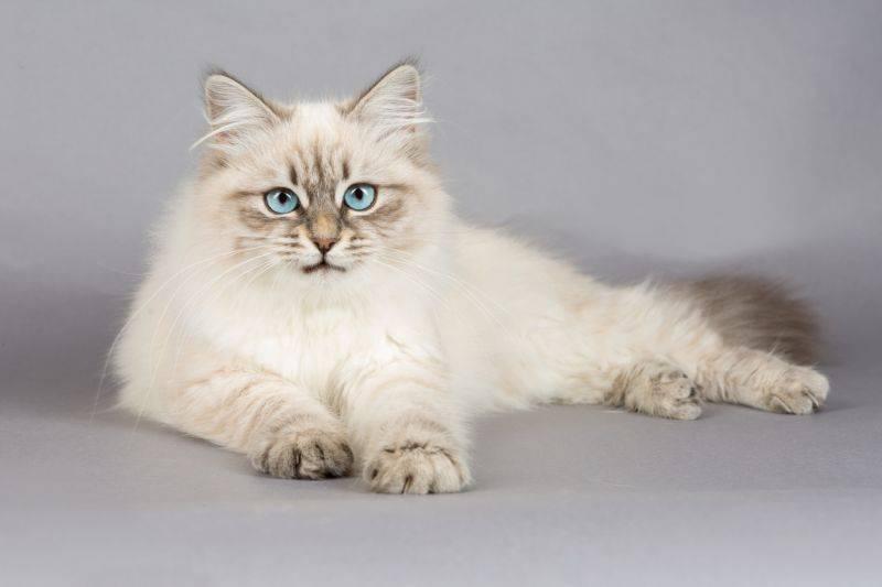 6 самых умных и красивых пород кошек, которые станут вам настоящими друзьями - gafki.ru
