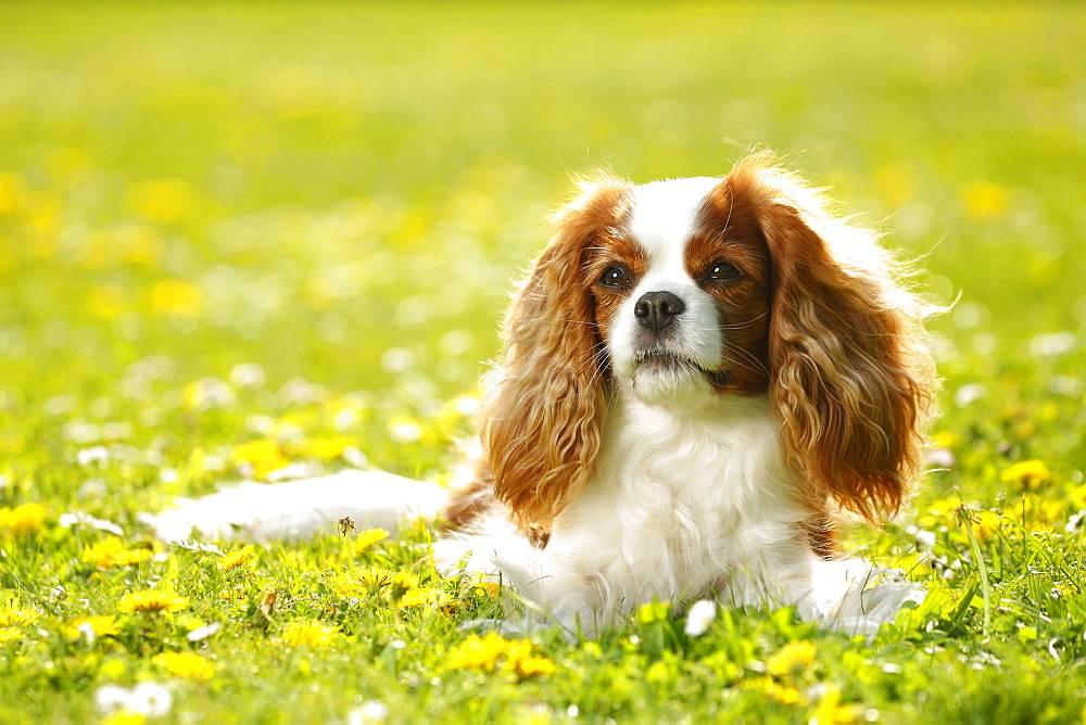 Кавалер кинг чарльз спаниель собака. описание, особенности, уход и цена породы | sobakagav.ru