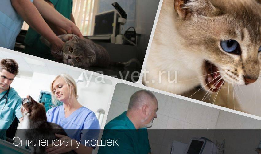 Припадки у кошек - симптомы, лечение, препараты, причины появления   наши лучшие друзья