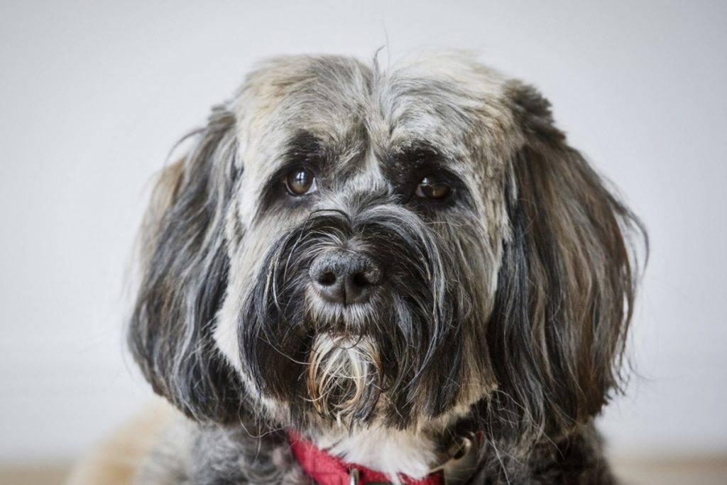 Тибетский терьер: описание породы собак